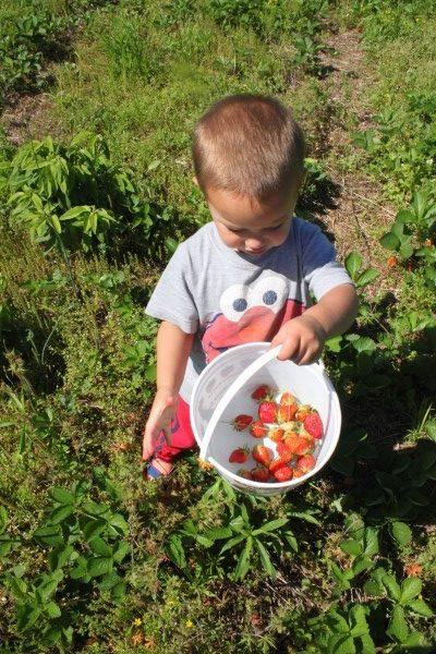 Son Picking Strawberries